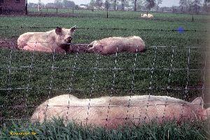 Varkens 1985.jpg