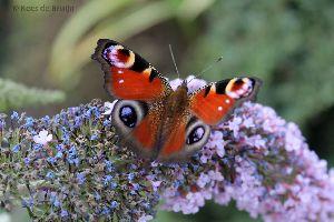 vlinder10.jpg