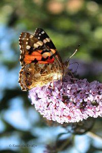 vlinder11.jpg