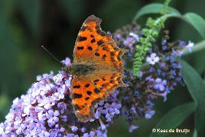 vlinder16.jpg