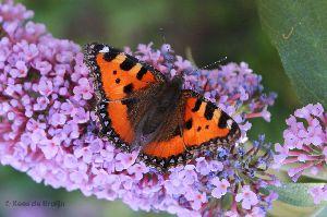 vlinder8.jpg